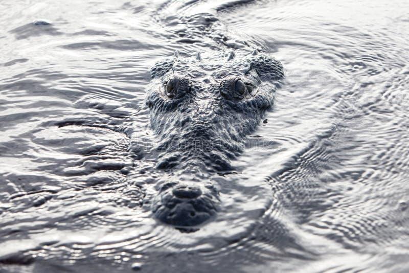 Krokodil an der Oberfläche der Lagune lizenzfreie stockfotos