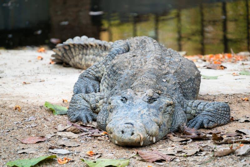 Krokodil dichtbij het water royalty-vrije stock afbeeldingen