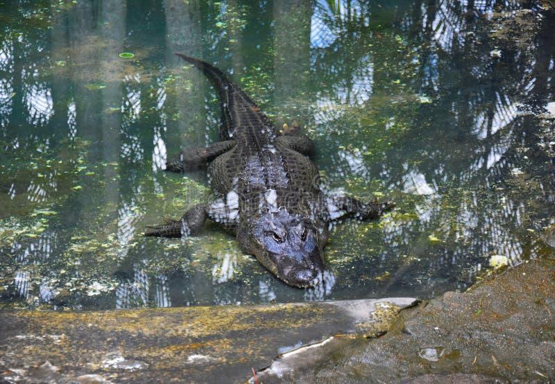 Krokodil die in de pool rusten stock afbeelding