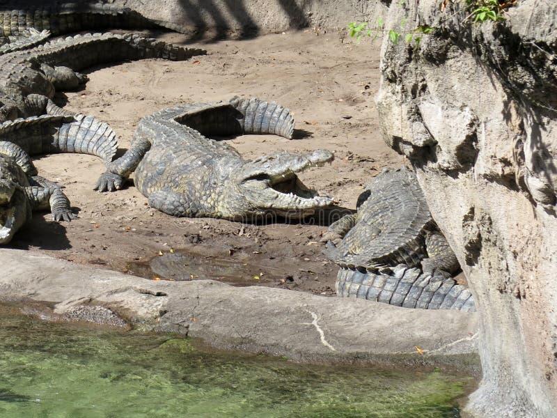 Krokodil die in de zon zonnebaadt royalty-vrije stock afbeeldingen