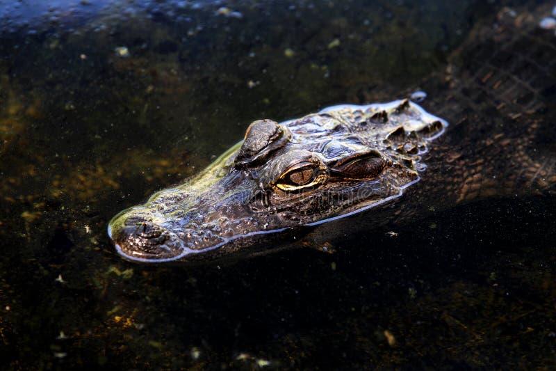 Krokodil die in een vijver zwemmen royalty-vrije stock foto