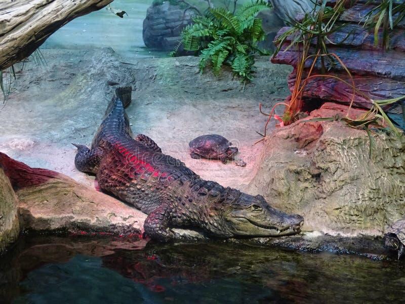 Krokodil die in gevangenschap leven stock afbeelding