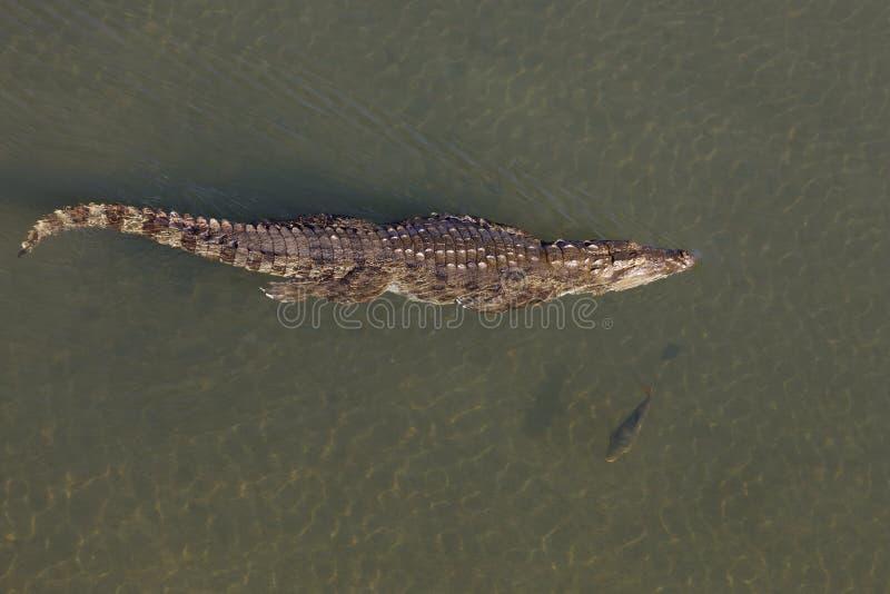 Krokodil die in het Nationale park van rivierchitwan zwemt royalty-vrije stock afbeelding