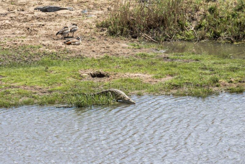 Krokodil die in het water in Kruger-Park lopen stock foto's
