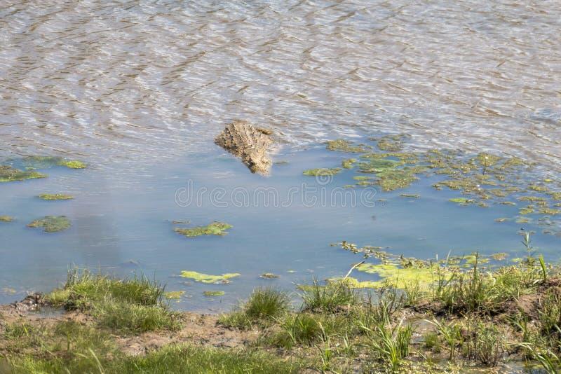 Krokodil die in het water in Kruger-Park lopen stock foto