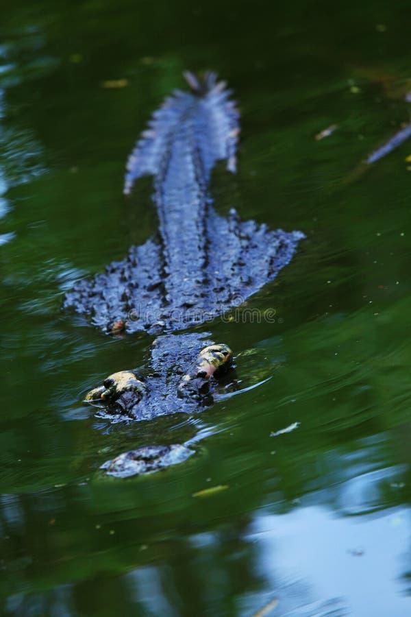 Krokodil die in het water sluimeren royalty-vrije stock afbeeldingen