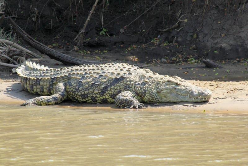 Krokodil die langs een rivier rusten stock afbeeldingen
