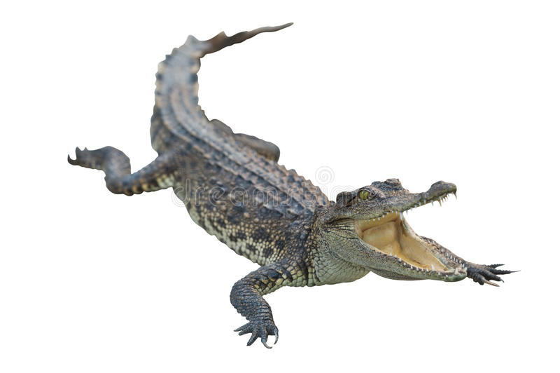 Krokodil die met het knippen van weg wordt geïsoleerda royalty-vrije stock foto's