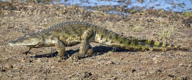 Krokodil die op de kust van een meer lopen om vlek voor restin te vinden stock foto's