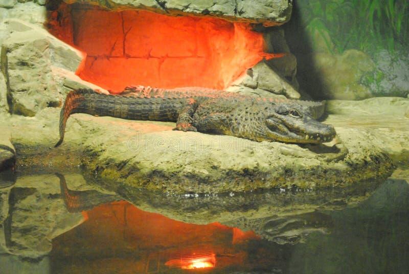 Krokodil die op de rotsen in de dierentuin liggen stock foto's