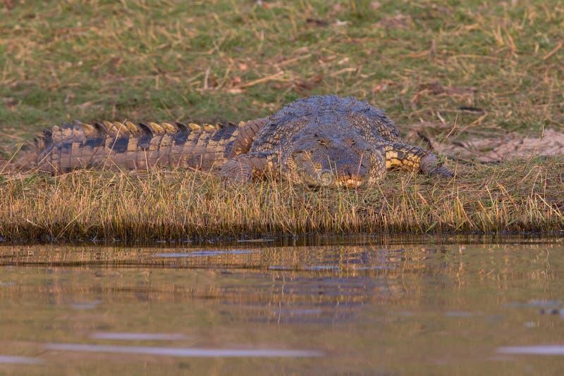 Krokodil die op prooi wachten royalty-vrije stock foto's