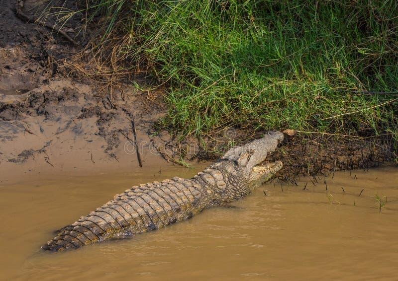 Krokodil die op voedsel bij het ISimangaliso-Park van het Moerasland wachten stock fotografie