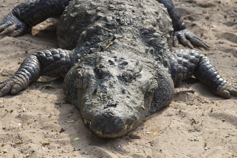 Krokodil die rust in grond nemen stock foto