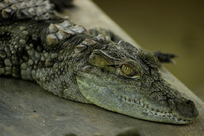 Krokodil die rust nemen stock afbeeldingen