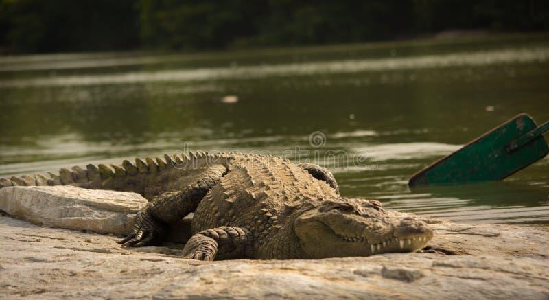 Krokodil die rust op Rots in het meer nemen royalty-vrije stock foto