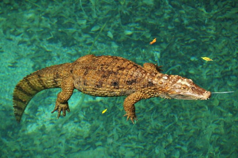 Krokodil die in water rust stock foto's