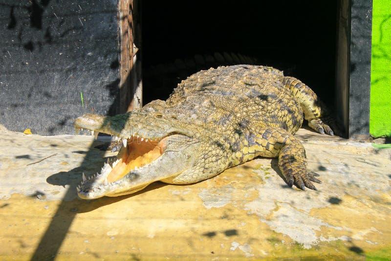 Krokodil in Dierentuin royalty-vrije stock afbeelding