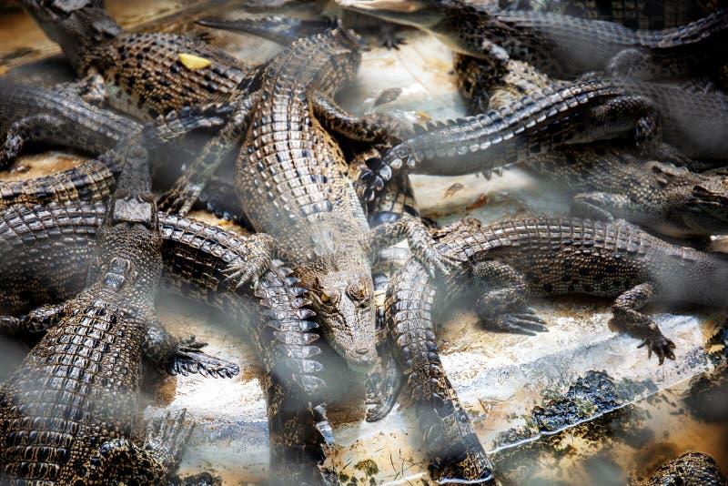 Krokodil in een landbouwbedrijf royalty-vrije stock foto's