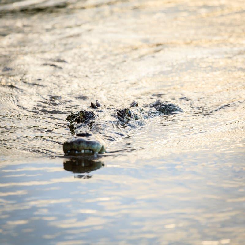 Krokodil in een rivier in Costa Rica royalty-vrije stock foto