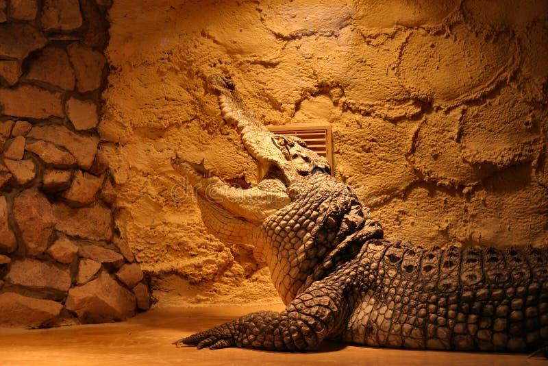 Krokodil in einem Terrarium lizenzfreie stockfotografie