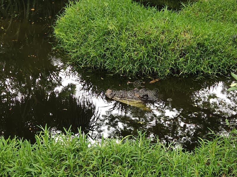 Krokodil en behang stock foto's