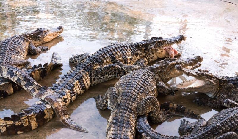 Krokodil från lantgård royaltyfri bild