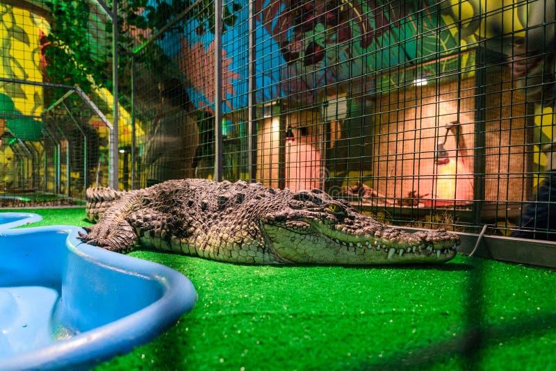 Krokodil in gevangenschap stock afbeeldingen