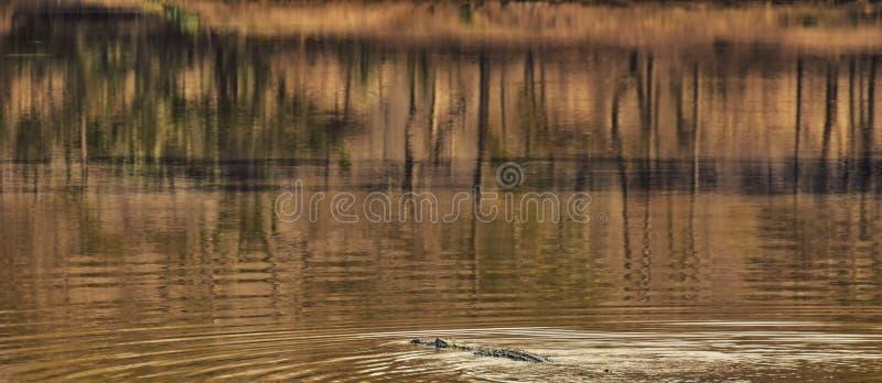 Krokodil in Ghana royalty-vrije stock foto