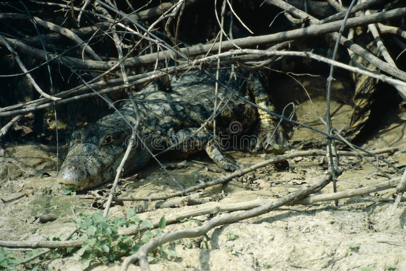 Krokodil - het Bassin van Amazonië royalty-vrije stock afbeeldingen