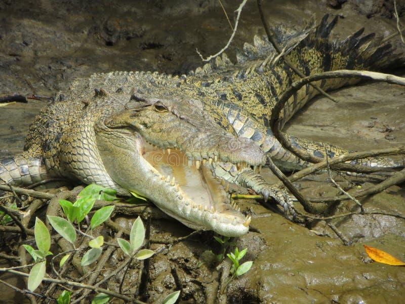 Krokodil in het moeras royalty-vrije stock fotografie