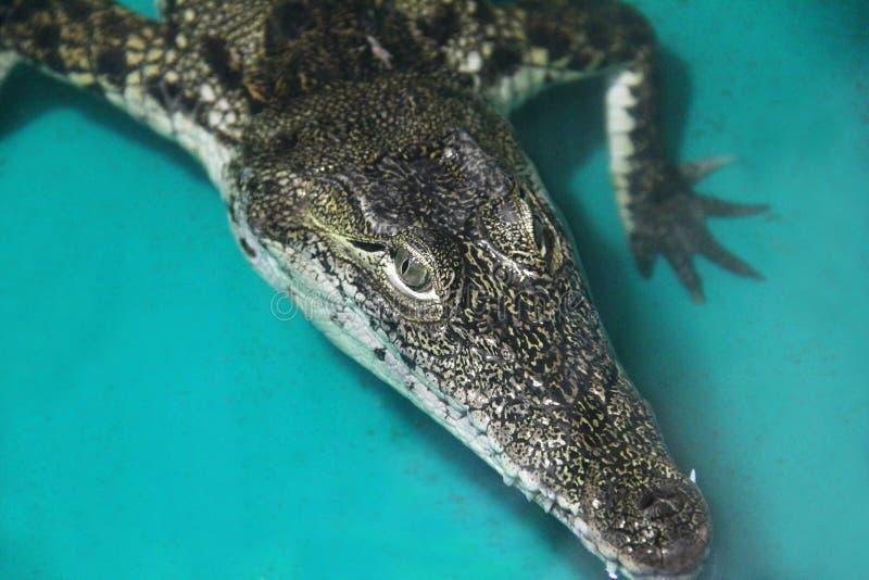 Krokodil in het water stock fotografie
