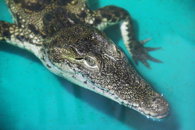 Krokodil in het water stock foto's