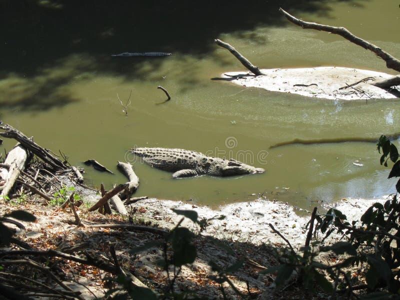 Krokodil i bevattna royaltyfri foto
