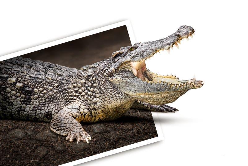 Krokodil i foto royaltyfria bilder