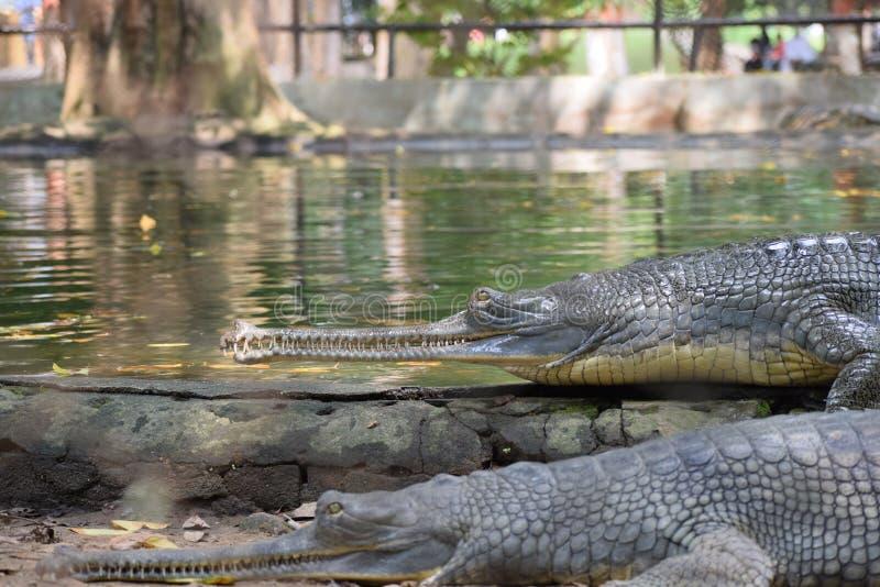 Krokodil i Sun royaltyfria foton