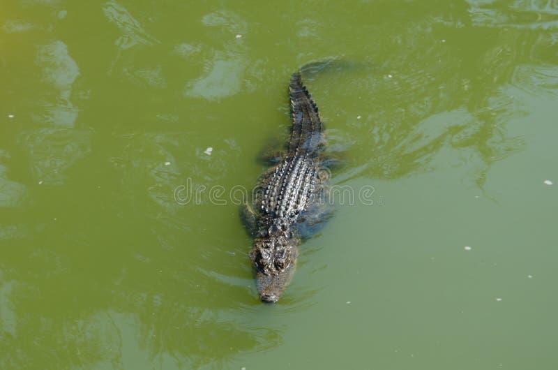 Krokodil i swampen arkivbild