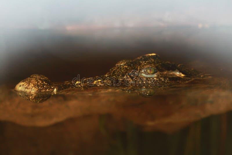 Krokodil i vattenskvallerbyttorna arkivfoto