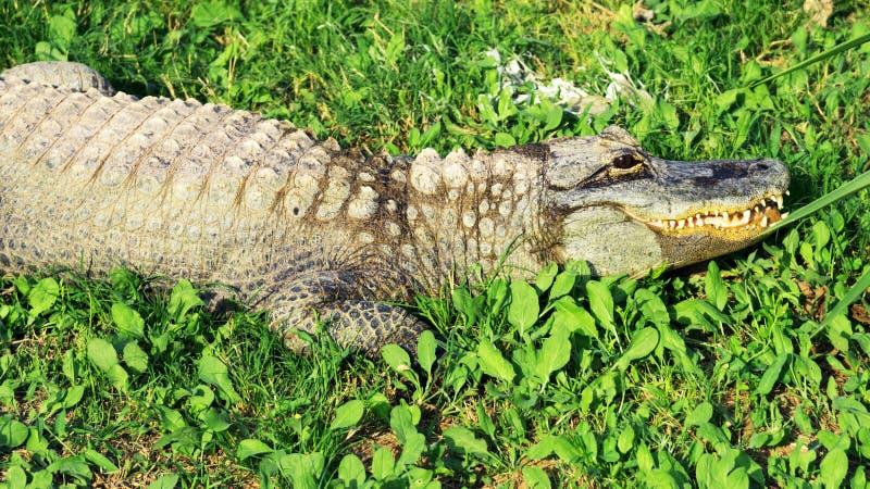 Krokodil im nationalen Zoo lizenzfreie stockbilder
