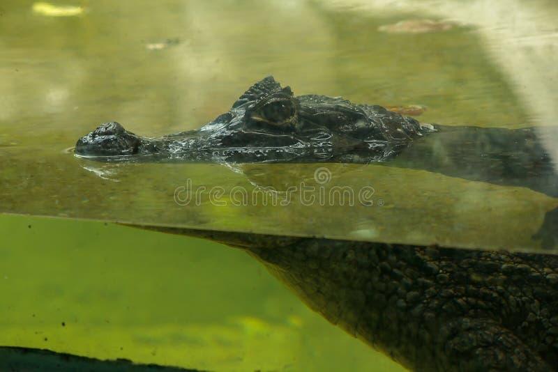 Krokodil ist im Wasser lizenzfreies stockfoto