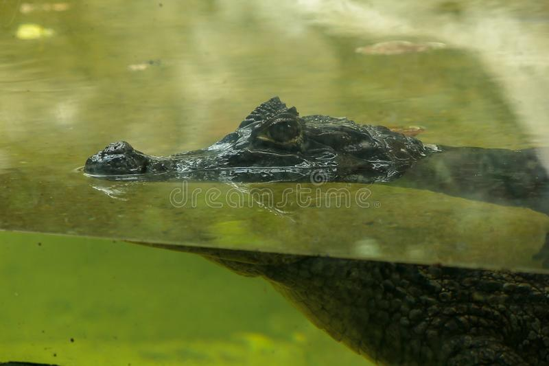 Krokodil ist im Wasser lizenzfreie stockbilder