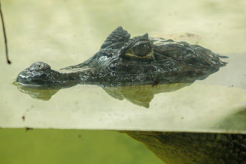 Krokodil ist im Wasser stockbild