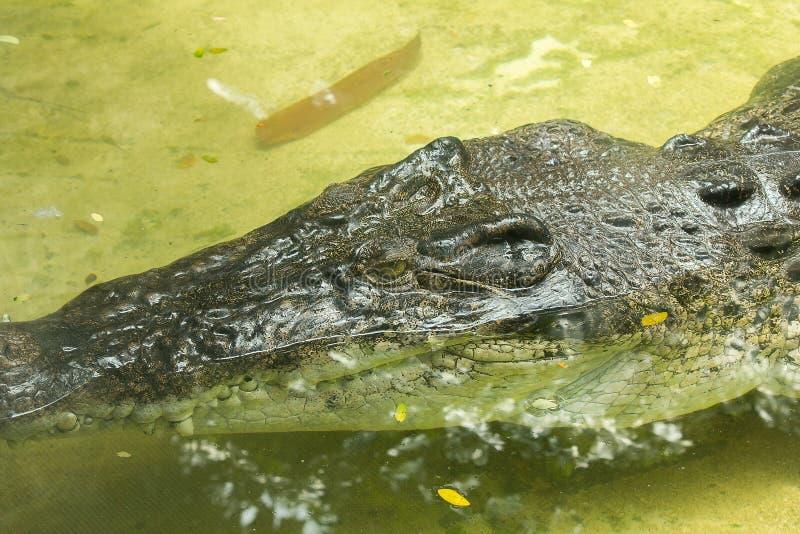 Krokodil ist im Wasser lizenzfreies stockbild