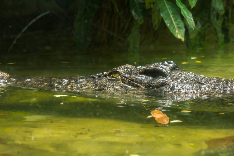 Krokodil ist im Wasser stockfotografie