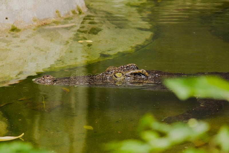 Krokodil ist im Wasser lizenzfreie stockfotos