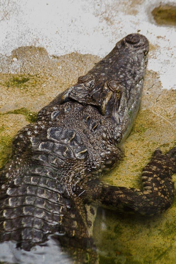 Krokodil ist im Wasser lizenzfreie stockfotografie