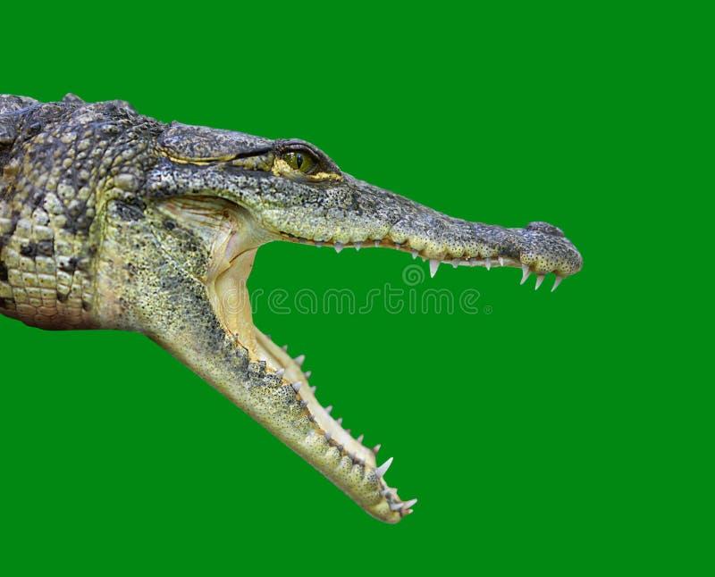 Krokodil jonge provile mening Mexico stock afbeelding