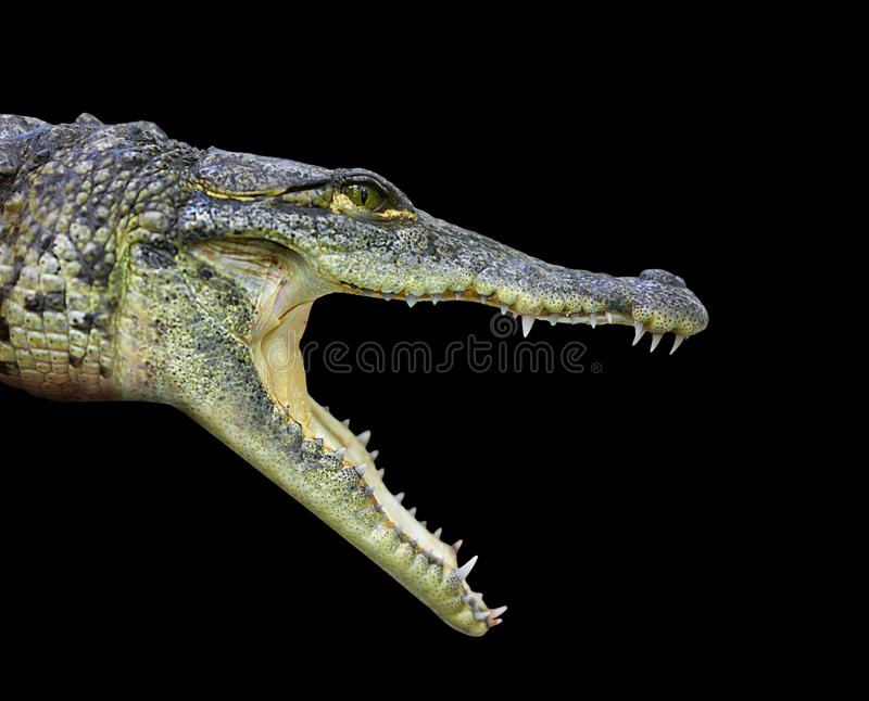 Krokodil jonge provile mening Mexico royalty-vrije stock fotografie