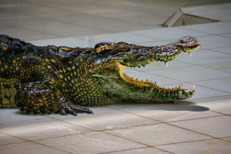 Krokodil Krokodiler som vilar p? krokodillantg?rden arkivbilder