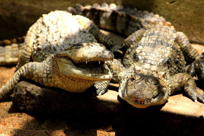 Krokodil med den ?ppna munnen vitt arkivfoton