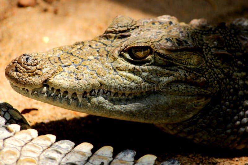 Krokodil med skarpa t?nder fotografering för bildbyråer